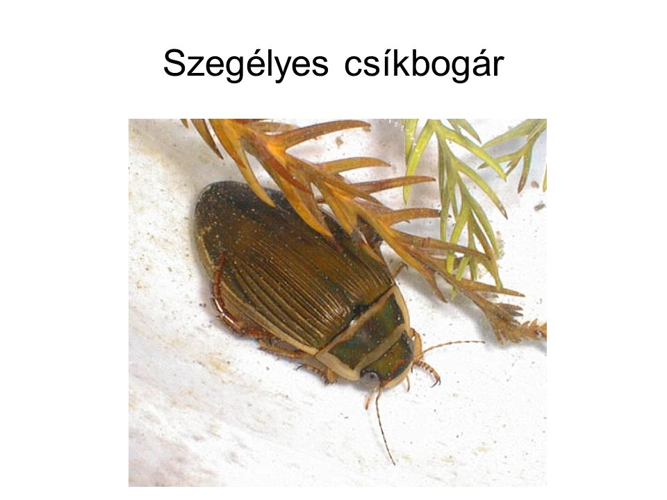 Szegélyes csíkbogár