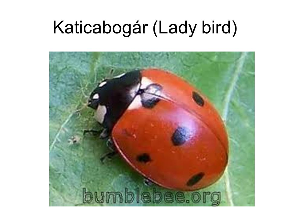 Katicabogár (Lady bird)