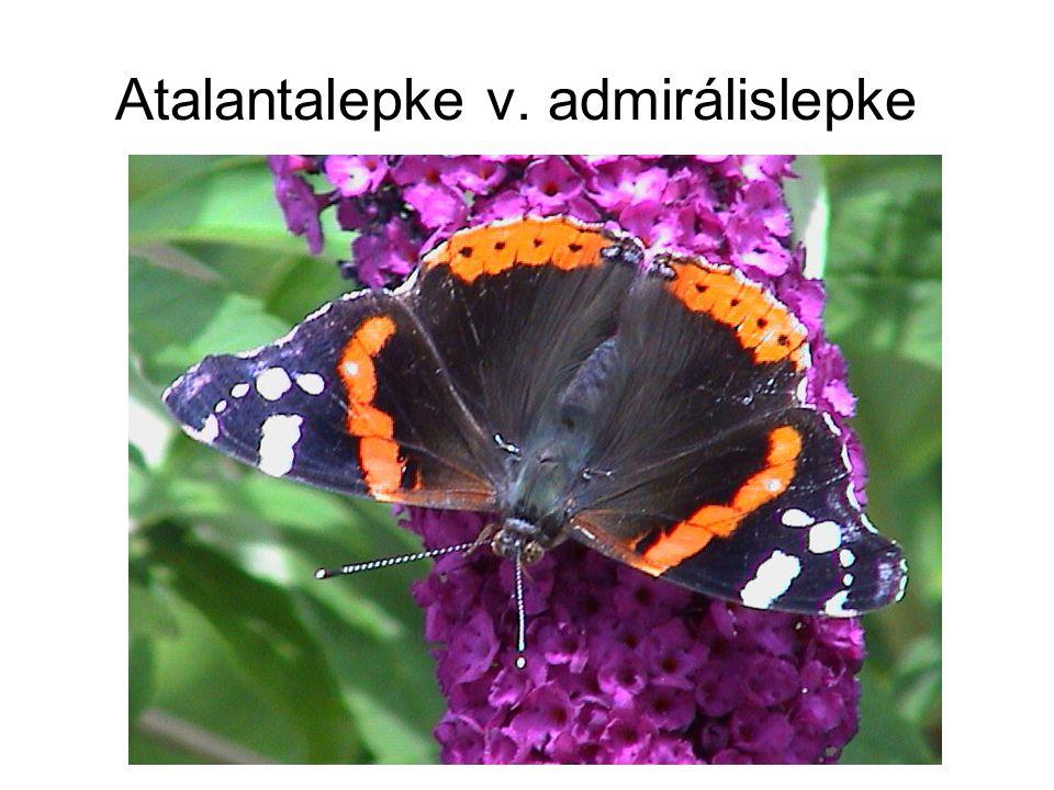 Atalantalepke v. admirálislepke