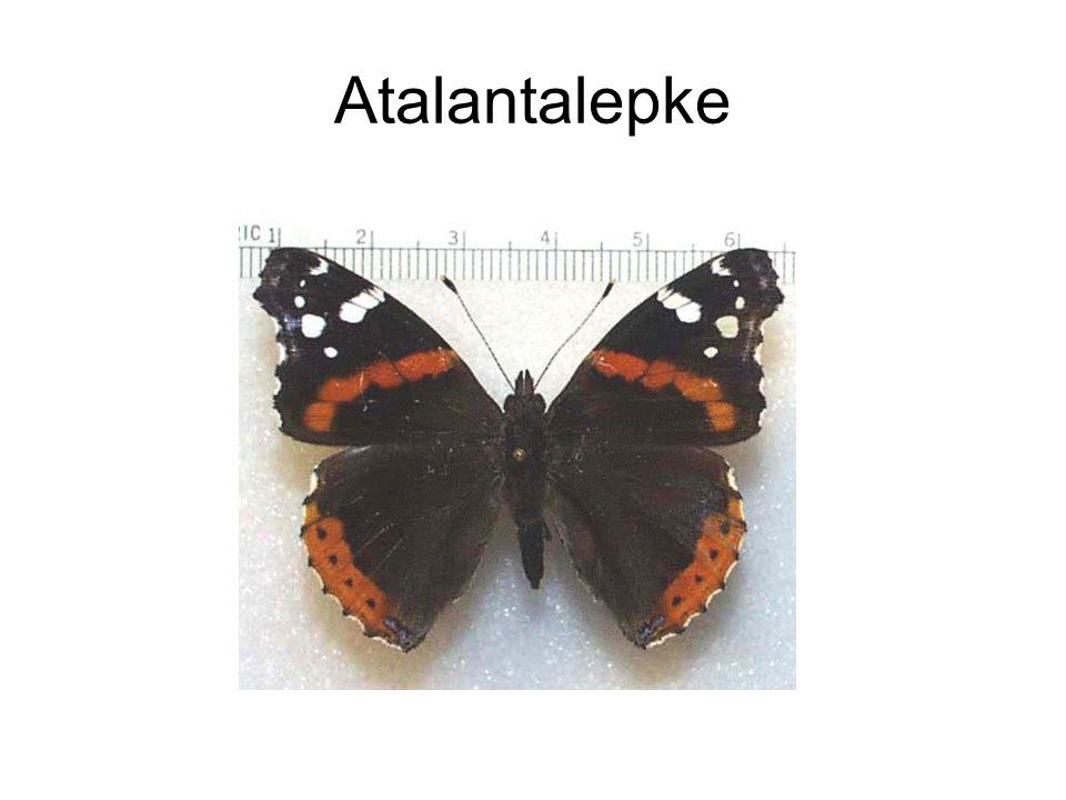 Atalantalepke