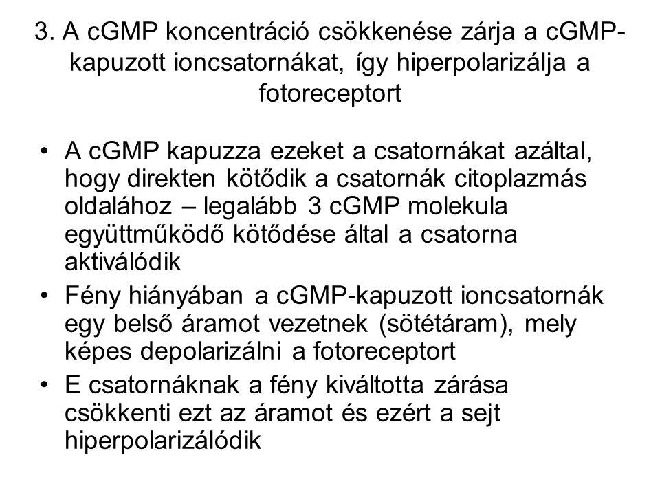 3. A cGMP koncentráció csökkenése zárja a cGMP-kapuzott ioncsatornákat, így hiperpolarizálja a fotoreceptort