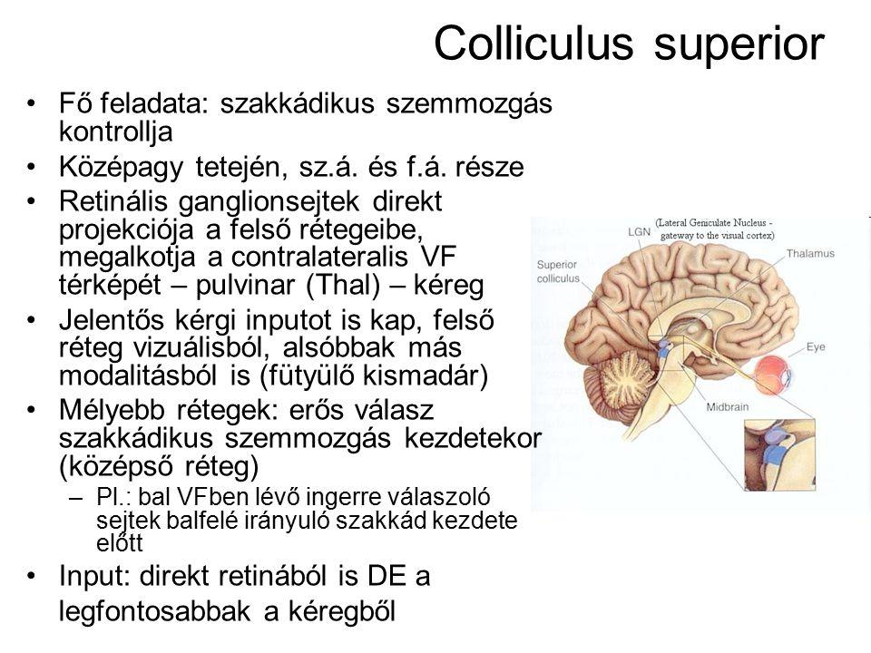 Colliculus superior Fő feladata: szakkádikus szemmozgás kontrollja