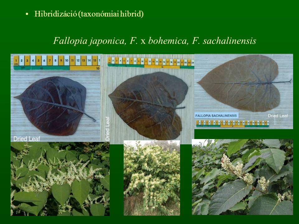 Fallopia japonica, F. x bohemica, F. sachalinensis