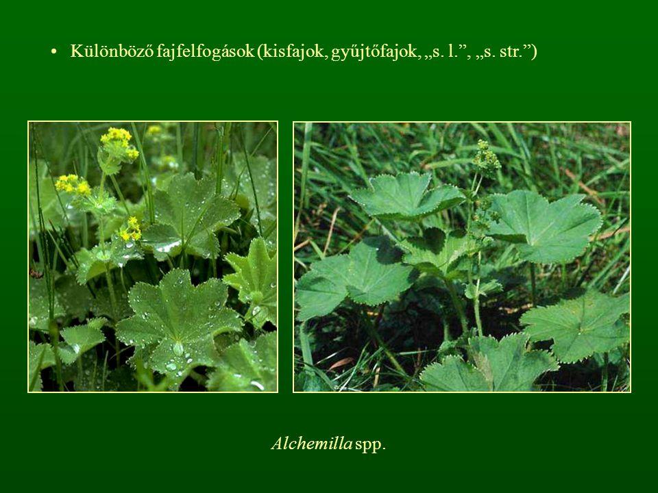 """Különböző fajfelfogások (kisfajok, gyűjtőfajok, """"s. l. , """"s. str. )"""