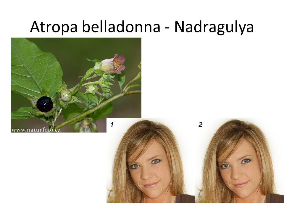 Atropa belladonna - Nadragulya