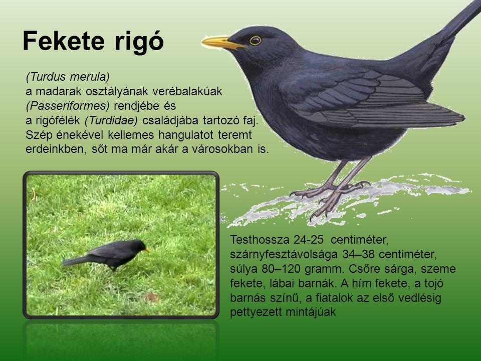 Fekete rigó (Turdus merula) a madarak osztályának verébalakúak