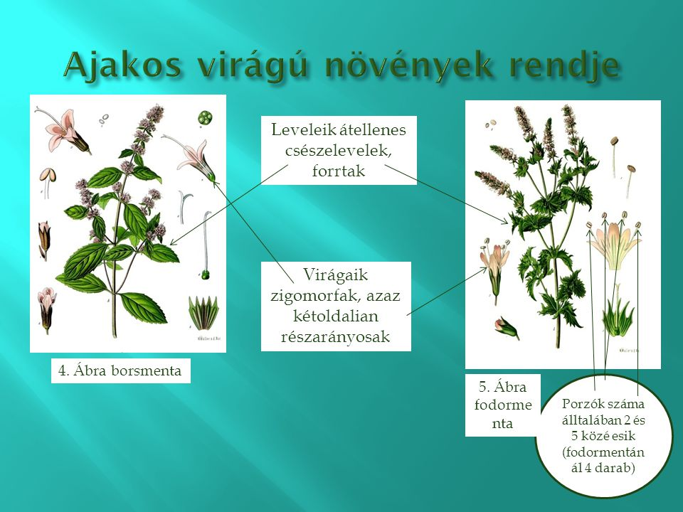 Ajakos virágú növények rendje