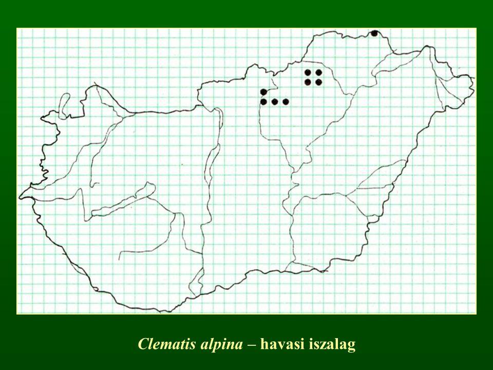 Clematis alpina – havasi iszalag
