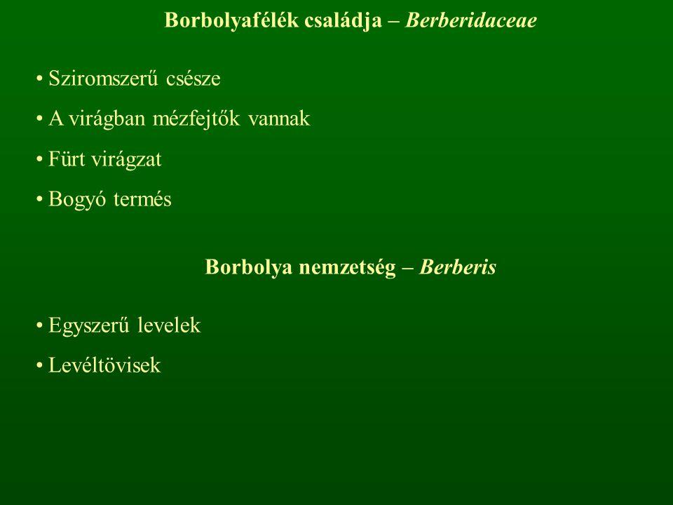 Borbolyafélék családja – Berberidaceae Borbolya nemzetség – Berberis