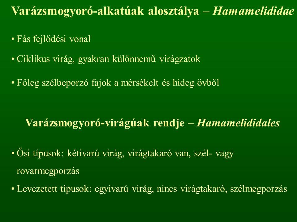Varázsmogyoró-alkatúak alosztálya – Hamamelididae