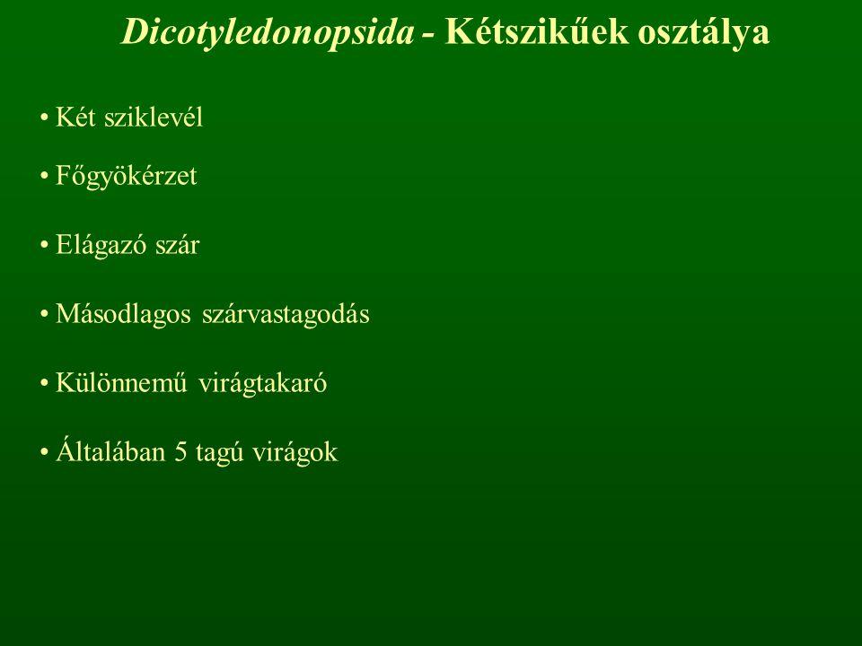 Dicotyledonopsida - Kétszikűek osztálya