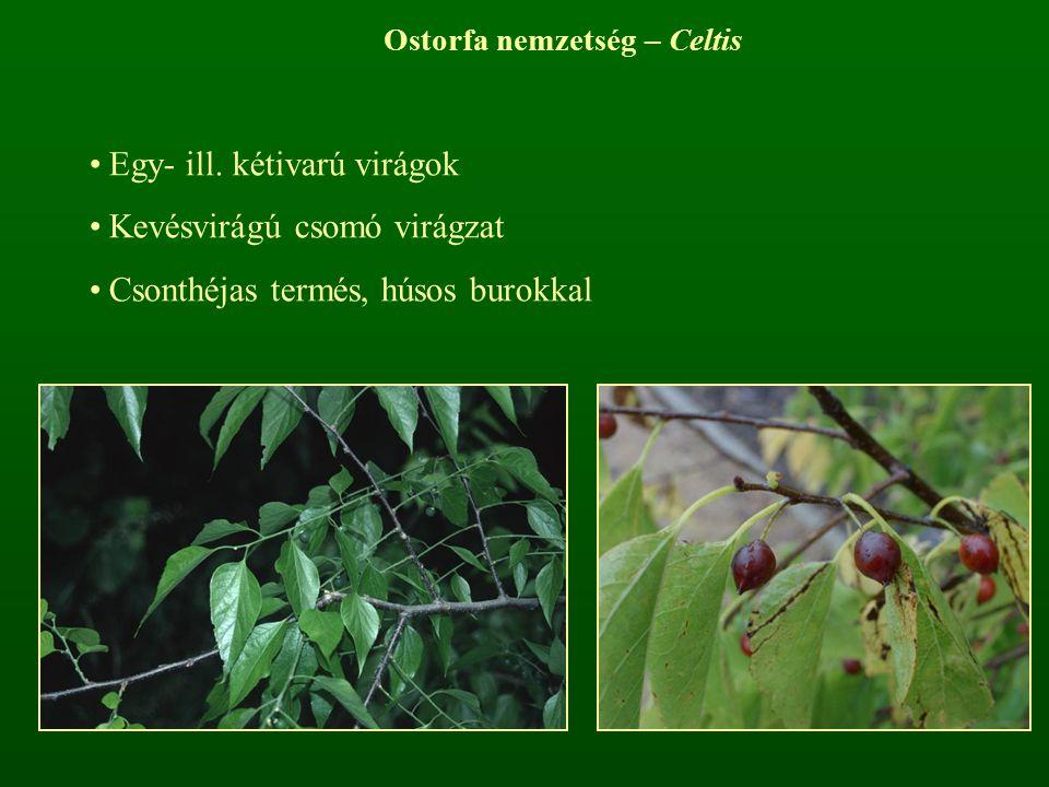 Ostorfa nemzetség – Celtis
