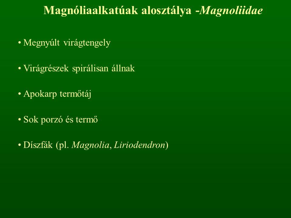 Magnóliaalkatúak alosztálya -Magnoliidae