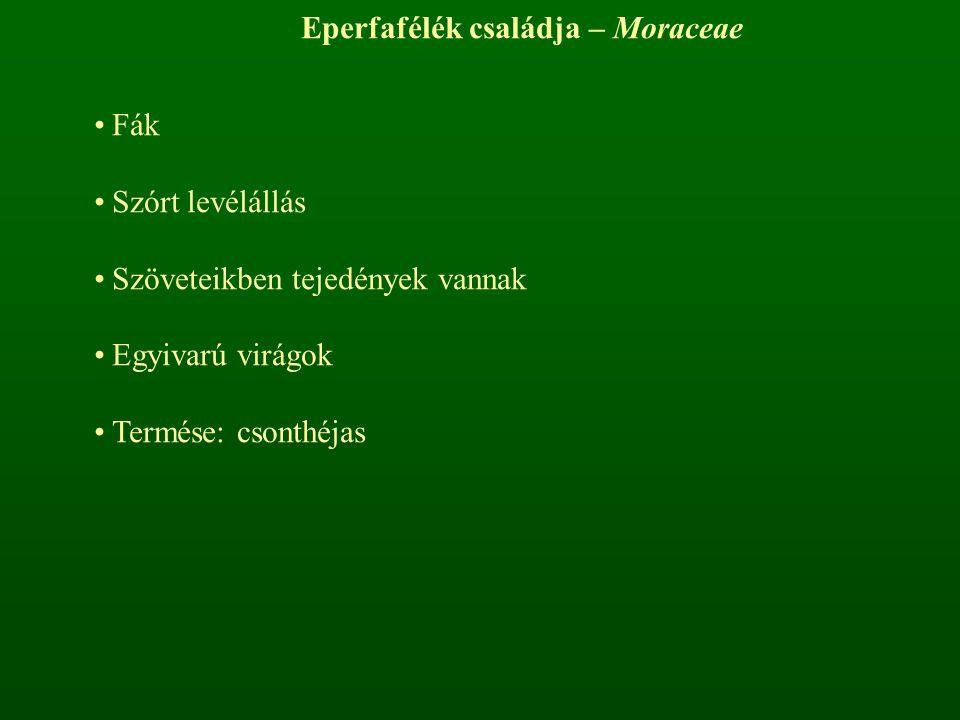 Eperfafélék családja – Moraceae
