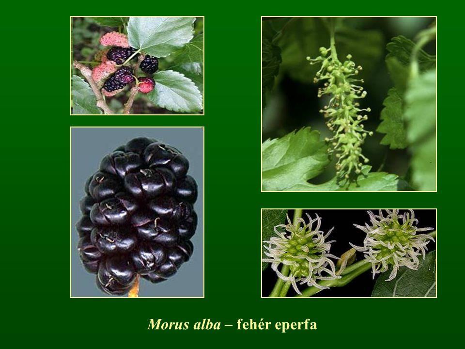 Morus alba – fehér eperfa