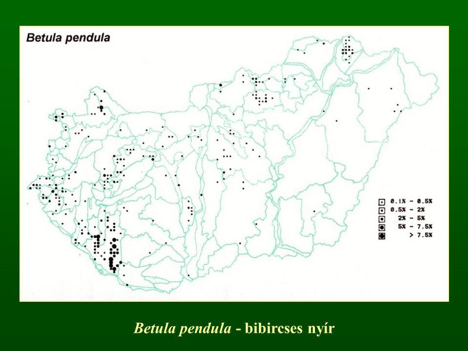 Betula pendula - bibircses nyír