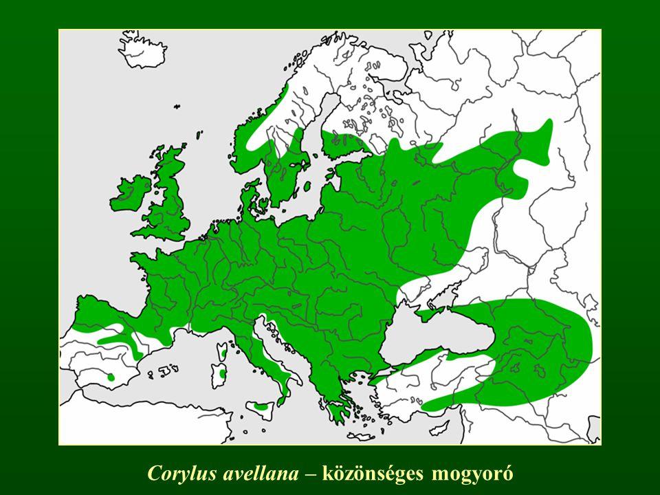 Corylus avellana – közönséges mogyoró