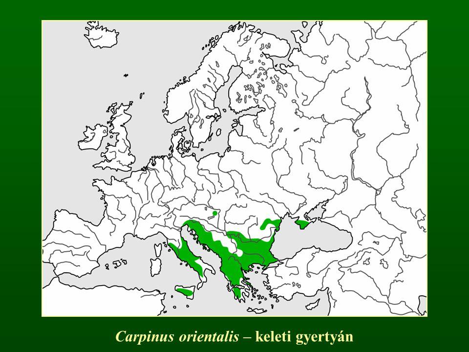 Carpinus orientalis – keleti gyertyán