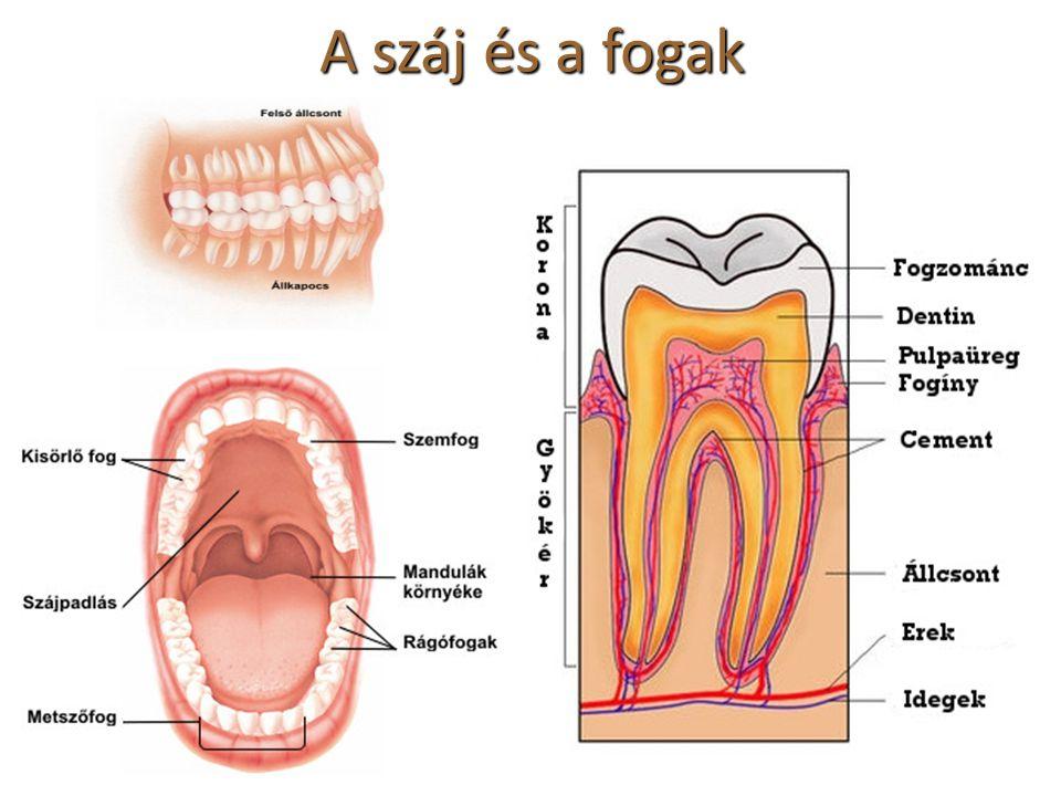 A száj és a fogak