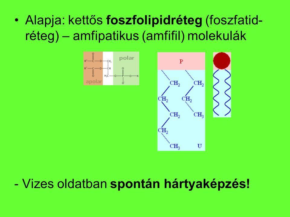 Alapja: kettős foszfolipidréteg (foszfatid-réteg) – amfipatikus (amfifil) molekulák