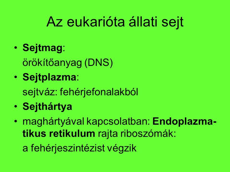 Az eukarióta állati sejt
