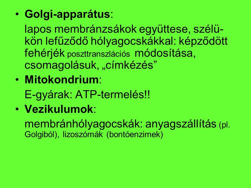 Golgi-apparátus:
