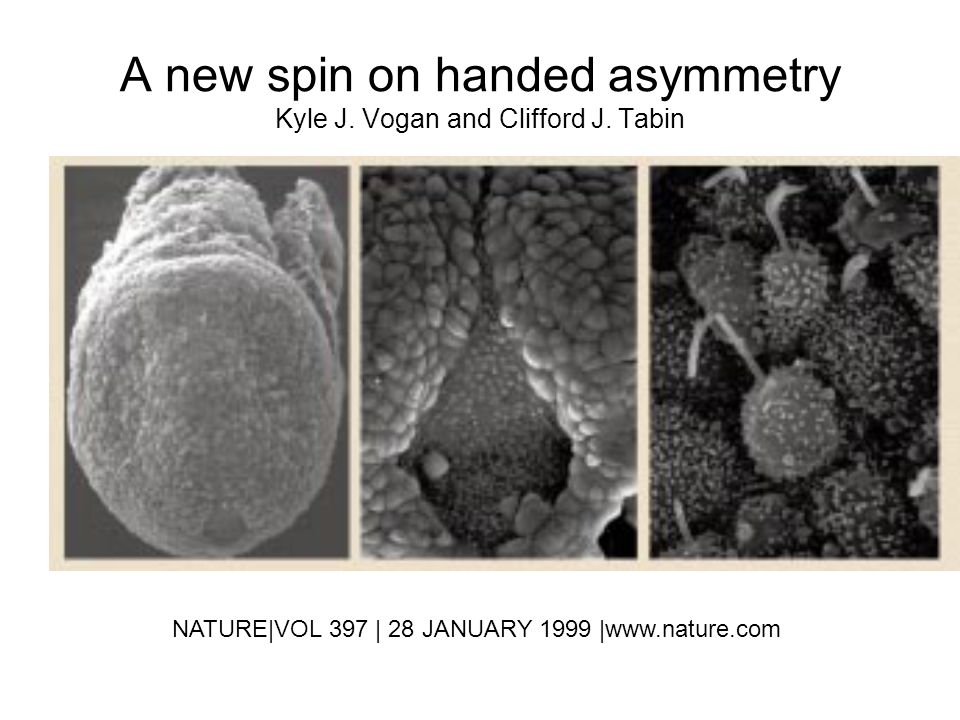 A new spin on handed asymmetry Kyle J. Vogan and Clifford J. Tabin