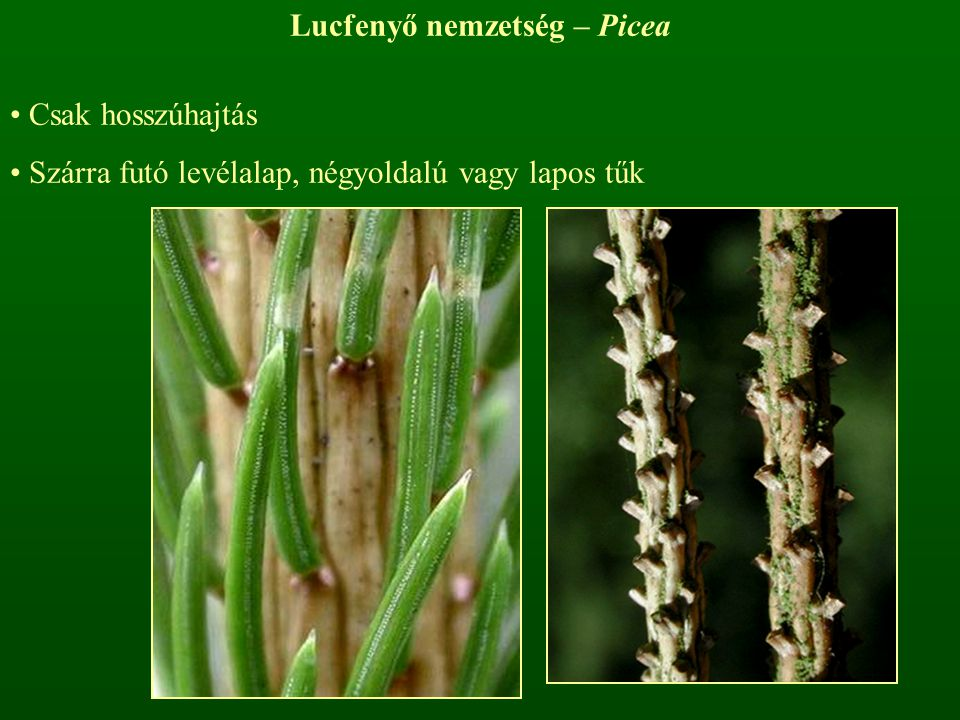 Lucfenyő nemzetség – Picea