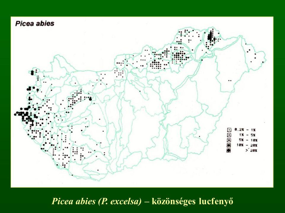 Picea abies (P. excelsa) – közönséges lucfenyő