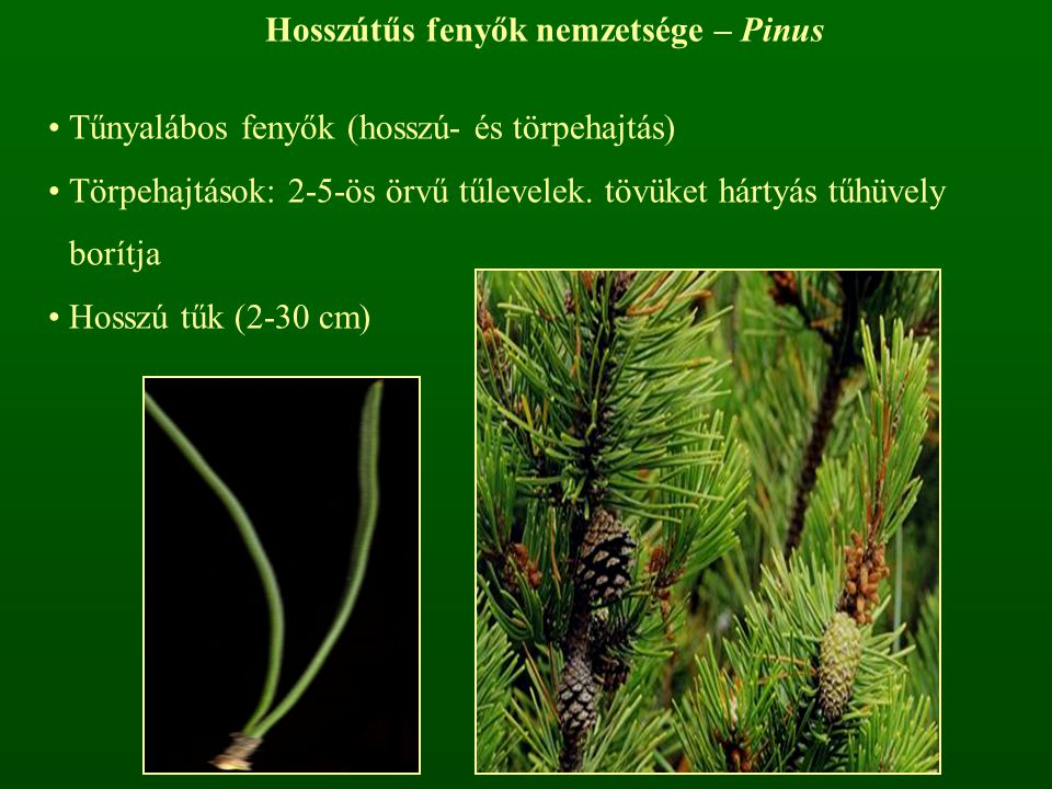 Hosszútűs fenyők nemzetsége – Pinus