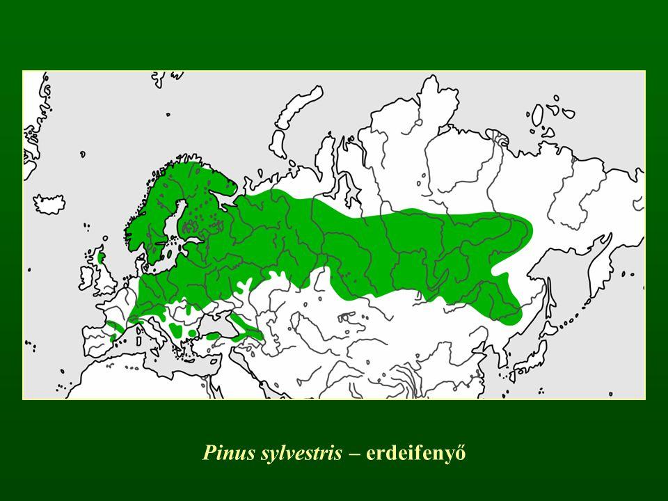Pinus sylvestris – erdeifenyő