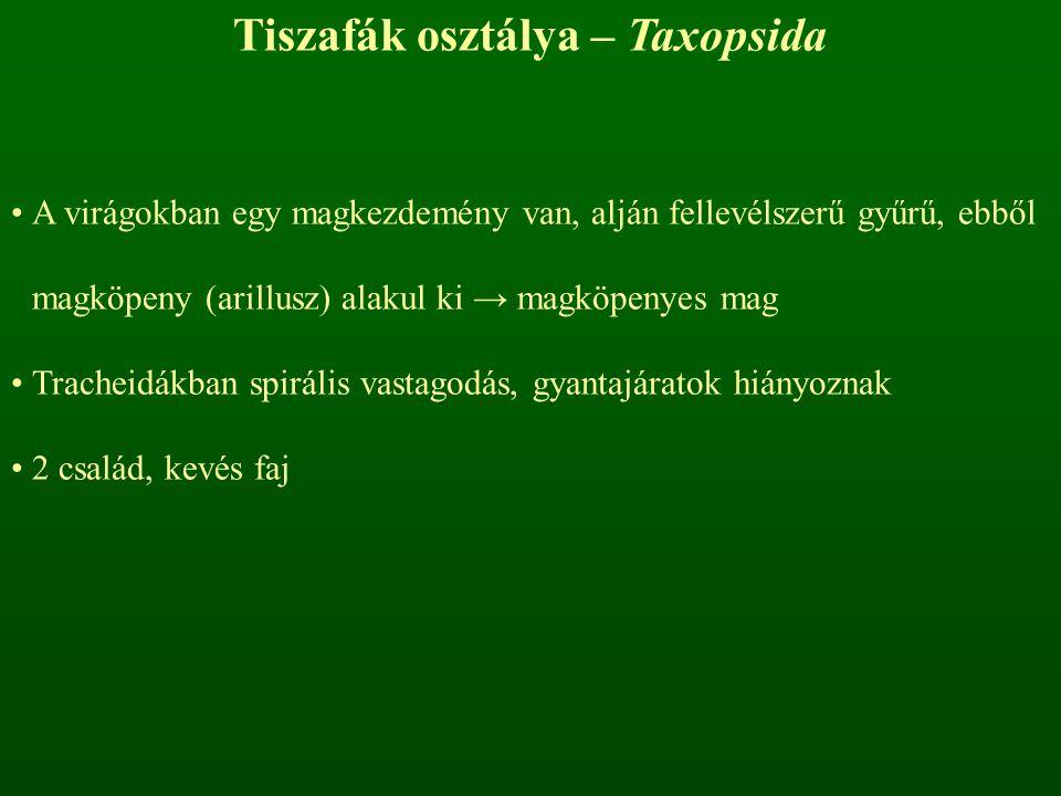 Tiszafák osztálya – Taxopsida