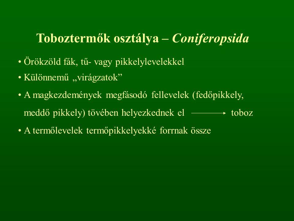 Toboztermők osztálya – Coniferopsida