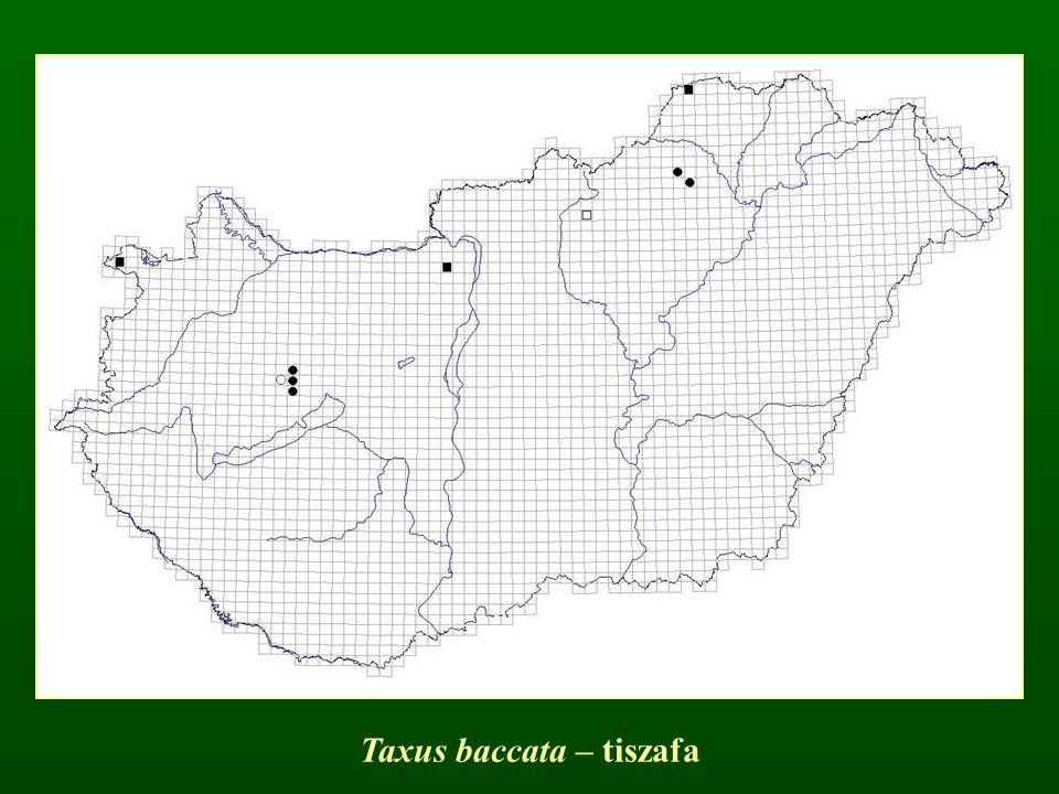 Taxus baccata – tiszafa