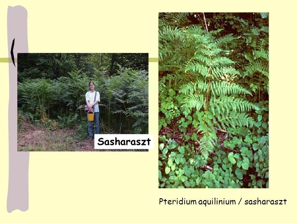 Pteridium aquilinium / sasharaszt
