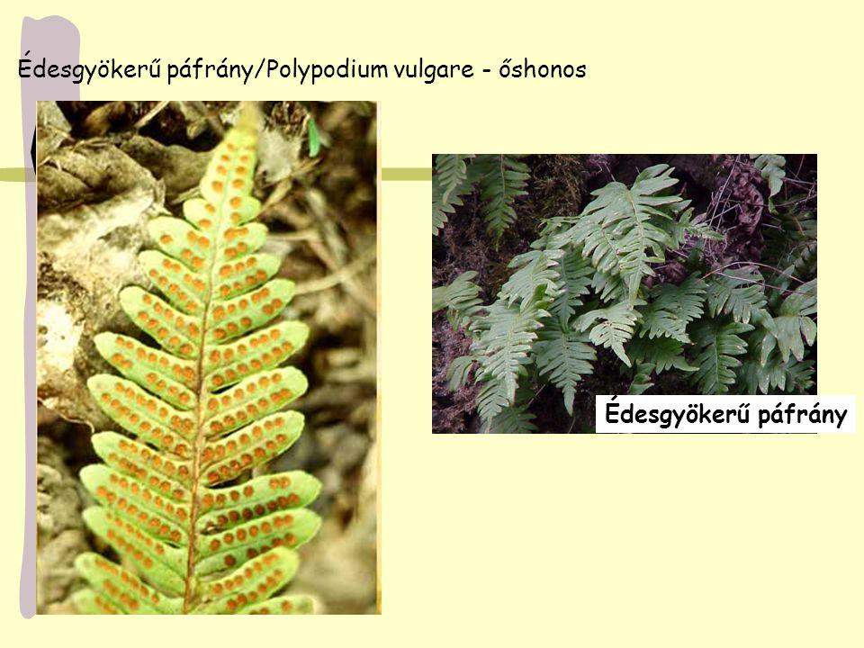 Édesgyökerű páfrány/Polypodium vulgare - őshonos