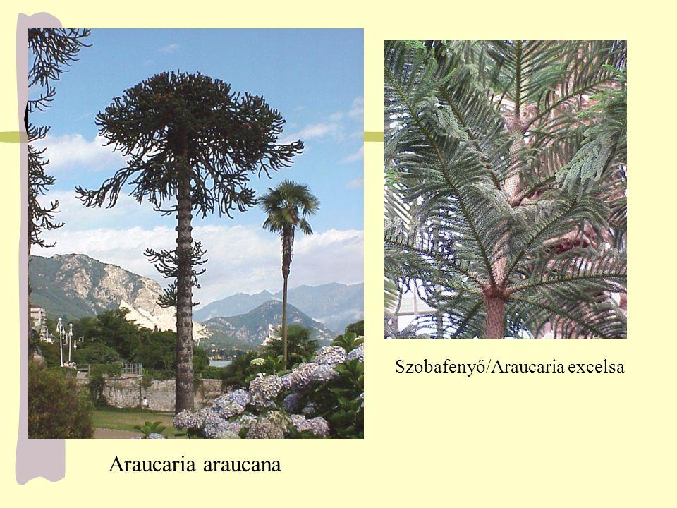 Araucaria araucana Szobafenyő/Araucaria excelsa