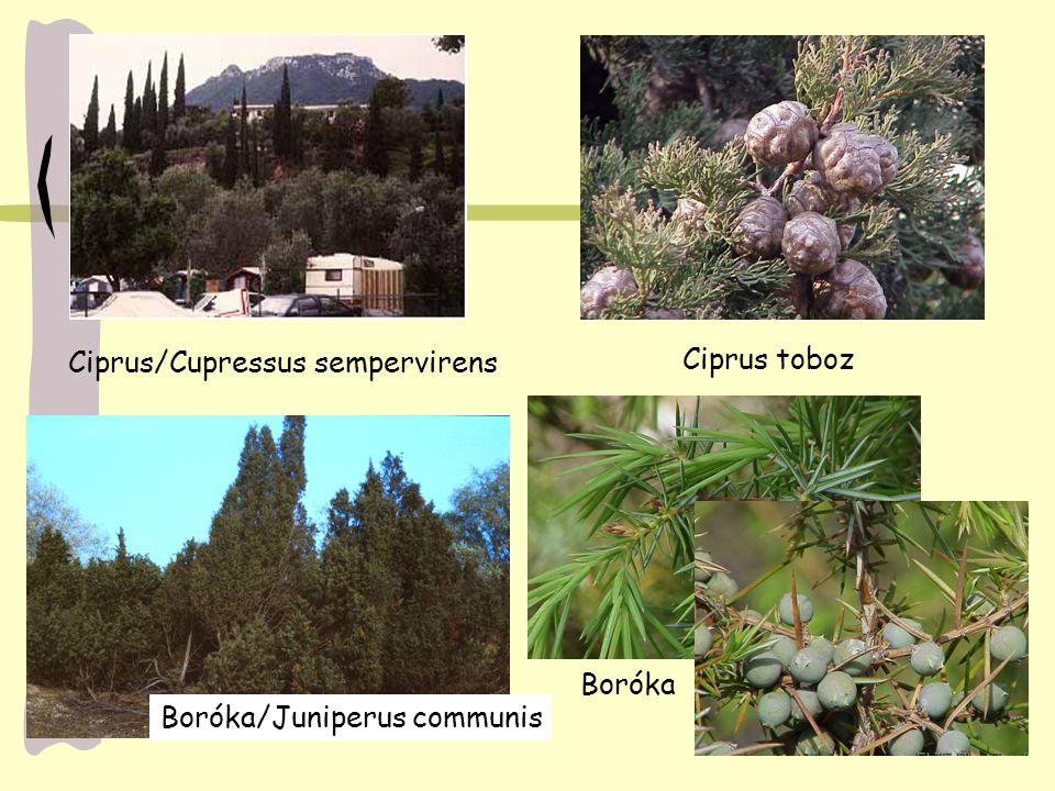 Ciprus/Cupressus sempervirens