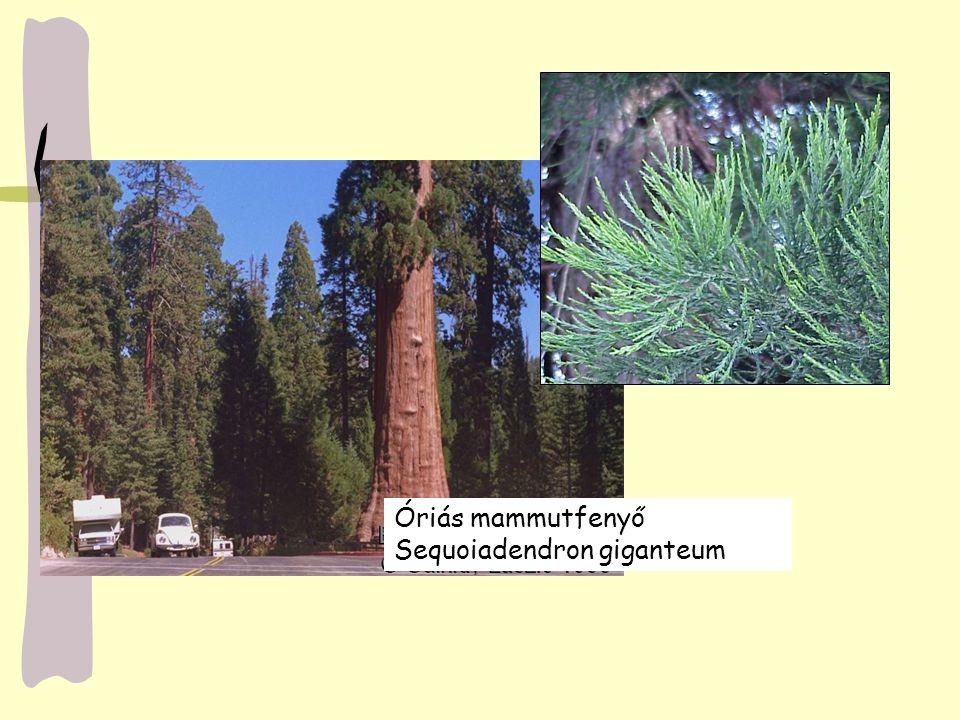 Óriás mammutfenyő Sequoiadendron giganteum