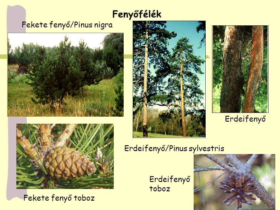 Fenyőfélék Fekete fenyő/Pinus nigra Erdeifenyő
