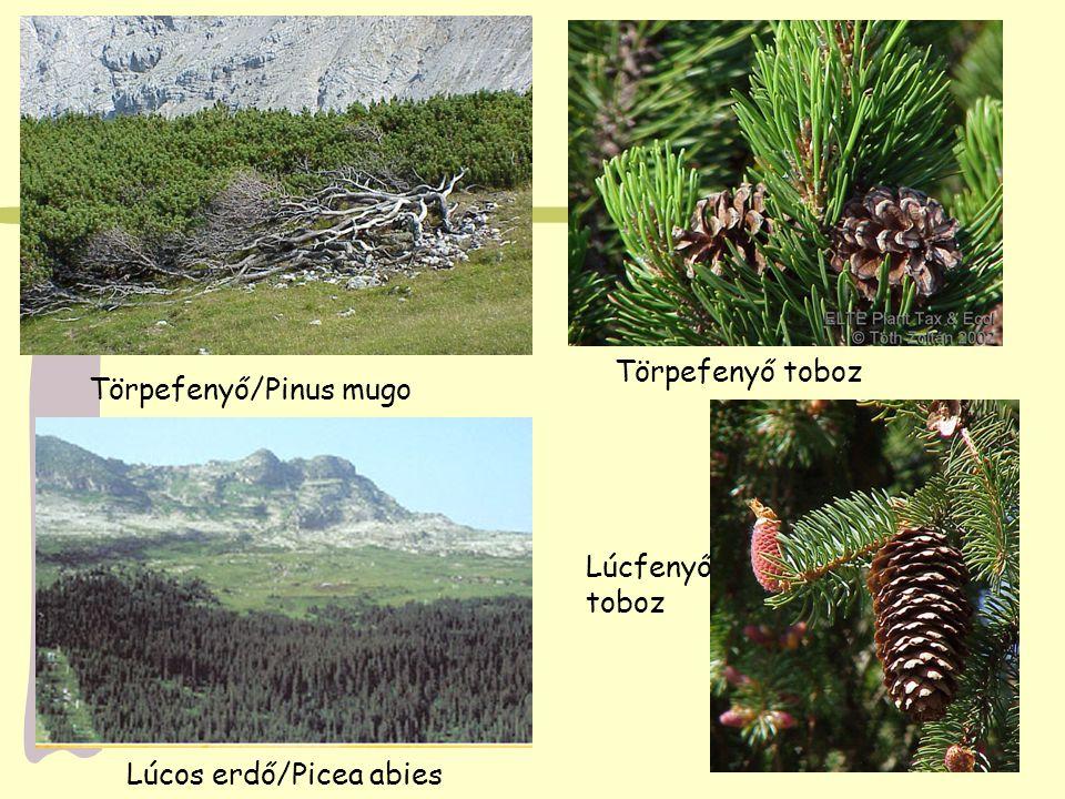 Törpefenyő/Pinus mugo