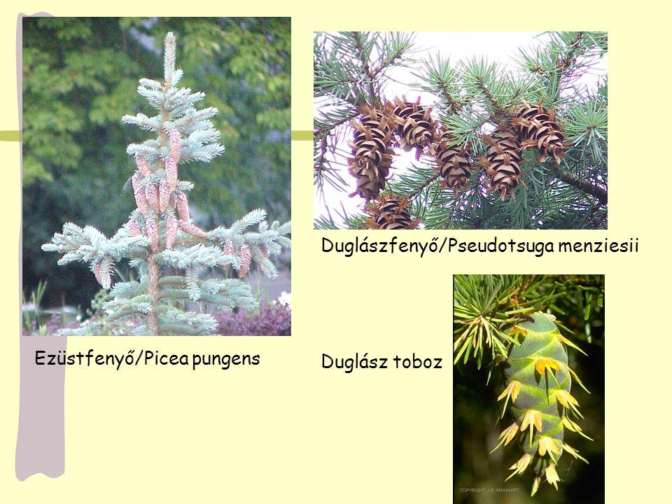 Ezüstfenyő/Picea pungens