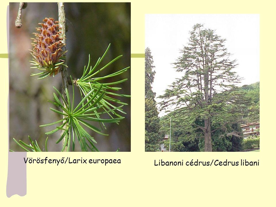 Vörösfenyő/Larix europaea
