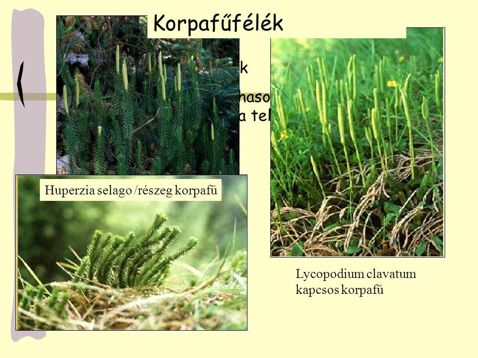 Korpafűfélék védett, ritka növények