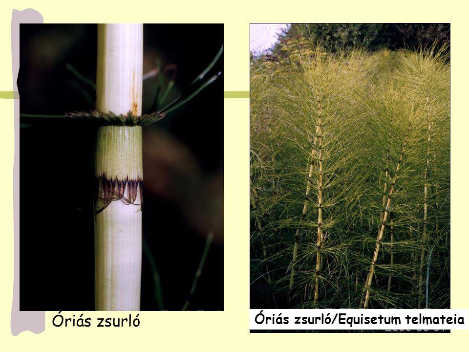 Óriás zsurló Óriás zsurló/Equisetum telmateia