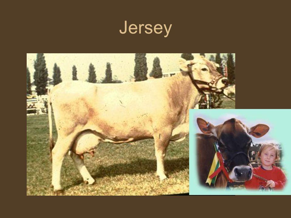 Szarvasmarha fajták Jersey