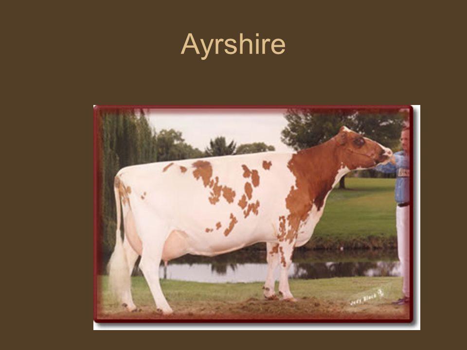 Szarvasmarha fajták Ayrshire