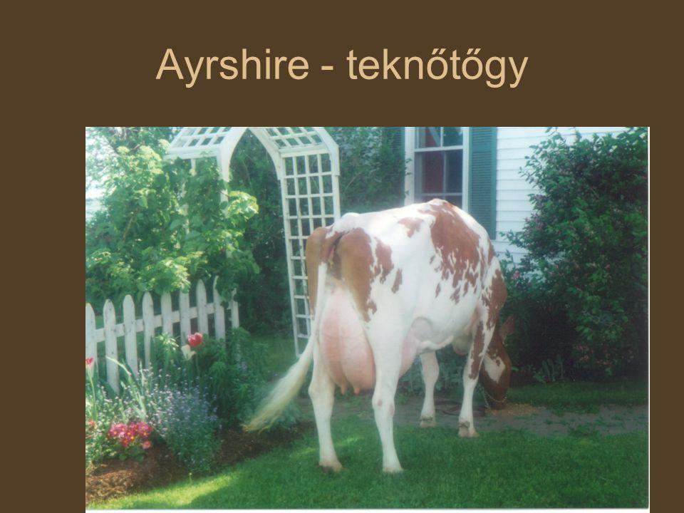 Szarvasmarha fajták Ayrshire - teknőtőgy