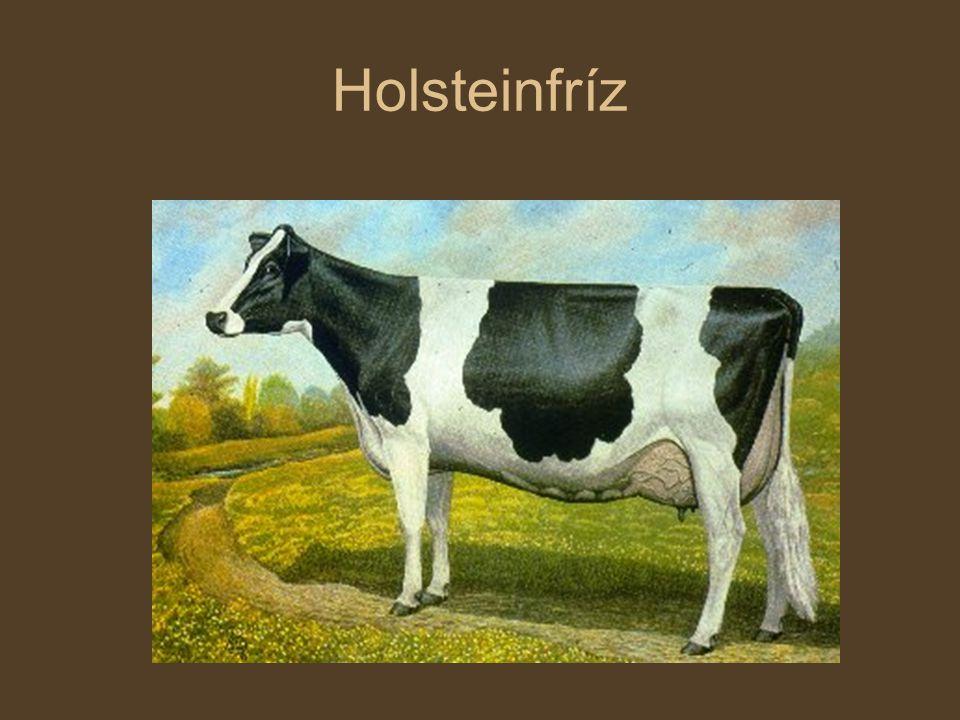 Szarvasmarha fajták Holsteinfríz