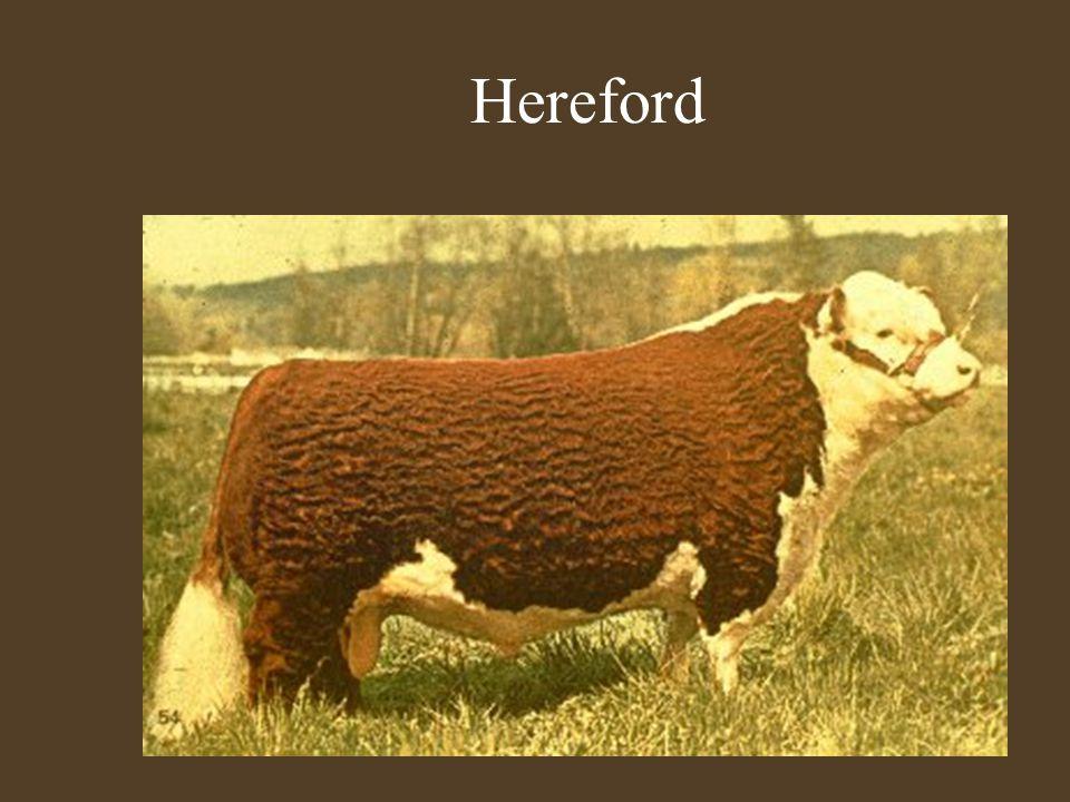 Szarvasmarha fajták Hereford